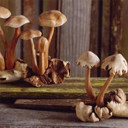 roost_mushroom