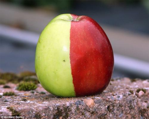genetic mutant apple